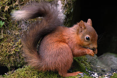 Poster featuring the photograph Red Squirrel by Lynn Bolt