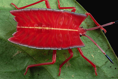 Red Stink Bug Brunei Poster