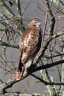 Poster featuring the photograph Red Tail Hawk by Laurinda Bowling