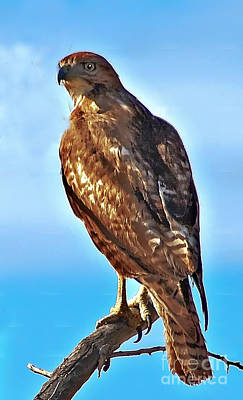 Red Tail Hawk Poster by Robert Bales