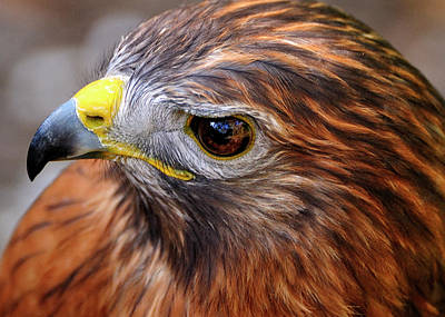 Red-tailed Hawk Close Up Poster