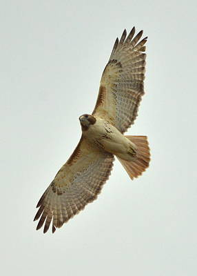Red-tailed Hawk Poster by Toshihide Takekoshi