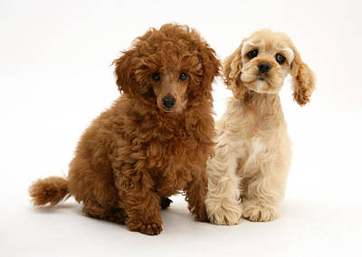 Red Toy Poodle And Cocker Spaniel Poster by Mark Taylor