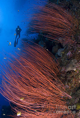 Red Whip Coral Sea Fan With Diver Poster