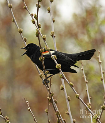 Red Winged Black Bird In Song Poster by Inspired Nature Photography Fine Art Photography