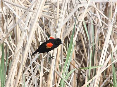 Poster featuring the photograph Red-winged Blackbird by Jack R Brock