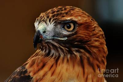 Redtail Hawk 2 Poster by Paulina Roybal