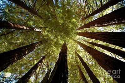 Poster featuring the photograph Redwood Canopy by Johanne Peale