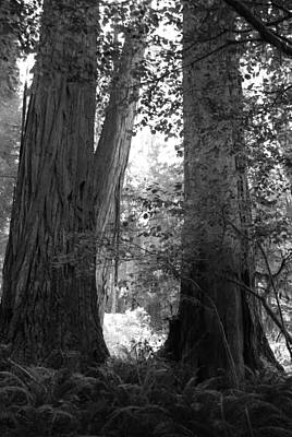 Redwood Pair Poster by Kathleen Grace