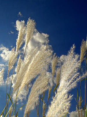Reeds On A Sunny Day Poster