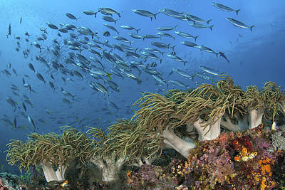 Reef Scenic With Schooling Fusiliers Poster