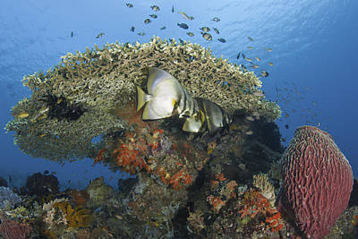 Reefscape With Spadefish And Barrel Sponge Poster