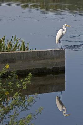 Reflecting Egret Poster