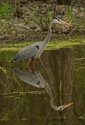 Reflective Heron On Grand Lake Poster