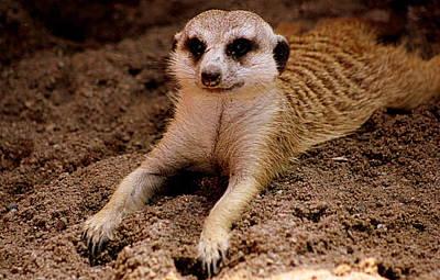 Relaxing Meerkat Poster