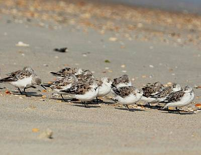 Resting Sandpipers Poster