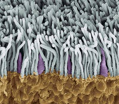 Retina Rods And Cones, Sem Poster by Steve Gschmeissner