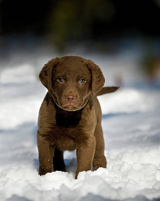 Retriever Puppy In Snow Poster by Copyright © Kerrie Tatarka