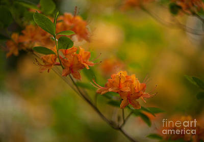 Rhododendron Impressions Poster by Mike Reid