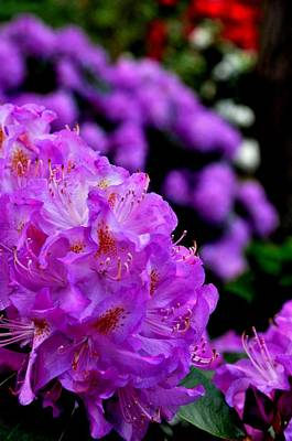 Poster featuring the photograph Rhododendron  by Puzzles Shum