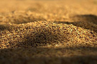 Rice Pady Poster by Nabil Kannan