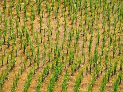 Rice Plants Poster by Bjorn Svensson