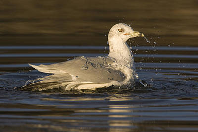 Ring Billed Gull  In Breeding Plumage Poster by Sebastian Kennerknecht