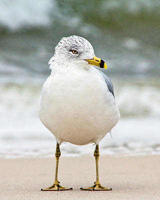 Ring-billed Gull Poster by Susi Stroud