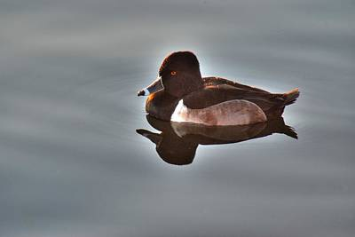 Poster featuring the photograph Ring-necked Duck by Tam Ryan