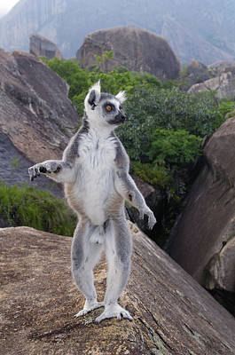 Ring-tailed Lemur Lemur Catta Male Poster by Pete Oxford