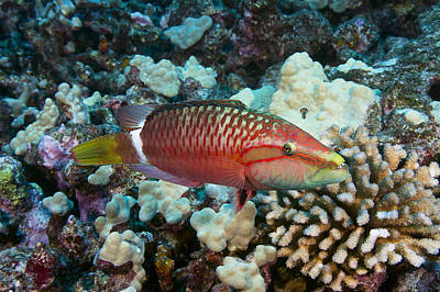 Ringtail Wrasse Poster by Dave Fleetham