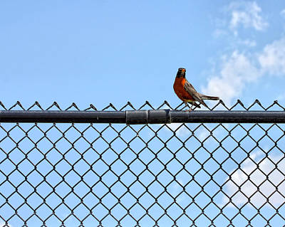 Robin Bird Sitting On A Fence Poster