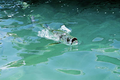 Rolling Tarpon Poster by Nick  Shirghio
