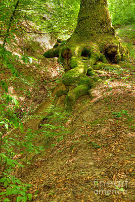 Roots Of A Tree At Ciucaru Mare Forest Poster