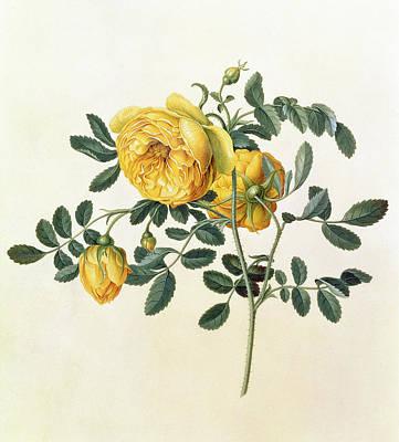 Rosa Hemispherica Poster by Georg Dionysius Ehret