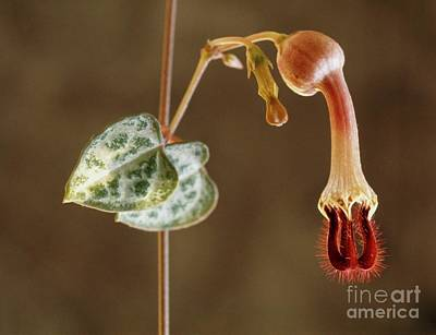 Rosary Vine (ceropegia Linearis Woodii) Poster by Vaughan Fleming