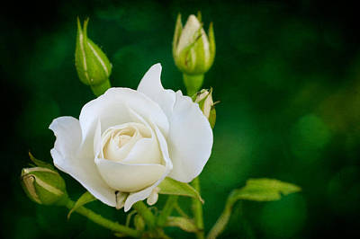 Rose I Poster