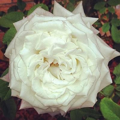 #rose Poster