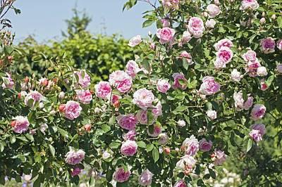 Rose (rosa 'debutante') Poster by Dr Keith Wheeler