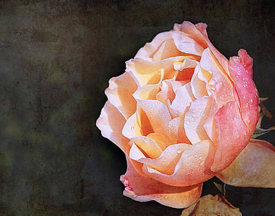 Rose With Dewdrops Poster by Marion McCristall
