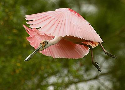 Poster featuring the photograph Roseate Spoonbill In Flight by Myrna Bradshaw
