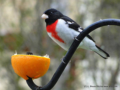 Rosebreasted Grossbeak Eating Orange Poster by Bruce Ritchie