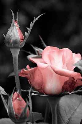 Poster featuring the photograph Roses In Pink And Gray by Michelle Joseph-Long