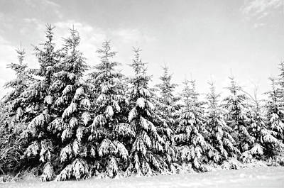 Row Of Evergreen Trees Are Laden With Snow Poster by Gail Shotlander
