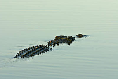 Rows Of Scutes Cover A Saltwater Poster
