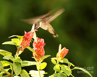 Poster featuring the photograph Ruby Throat Hummingbird by Luana K Perez