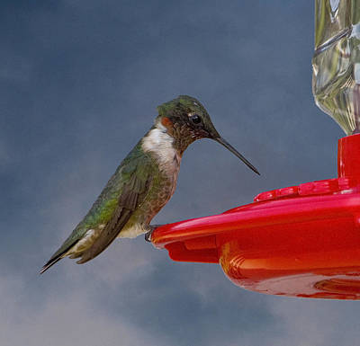 Ruby-throated Hummingbird Poster by Michael Friedman