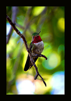 Ruby Throated Hummingbird Poster by Susanne Still