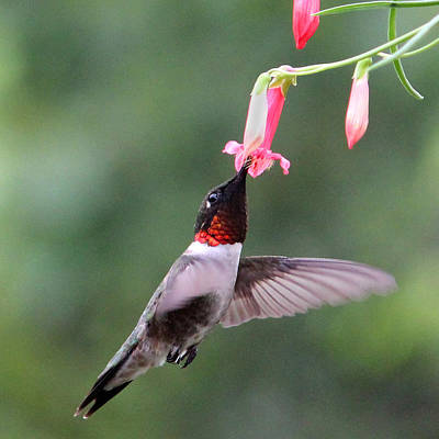Ruby Throated Hummingbird1 Poster by Brook Burling