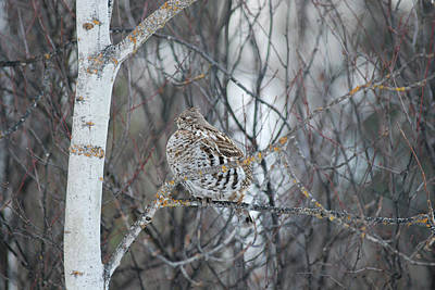 Ruffed Grouse Roosting Poster